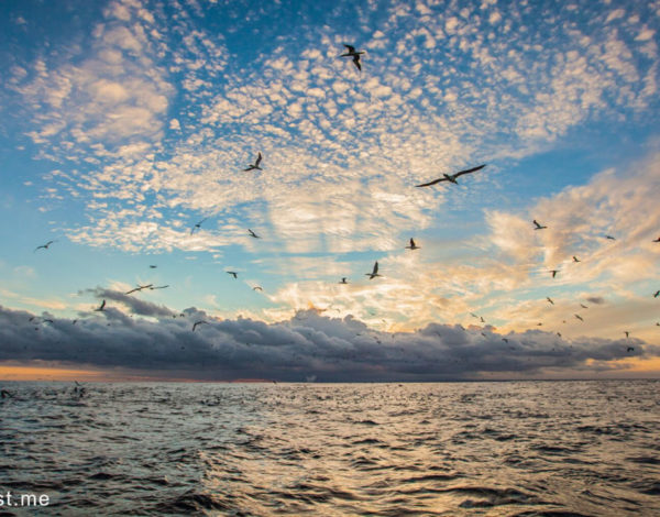 Gannets and dolphins signal a start to the sardine run